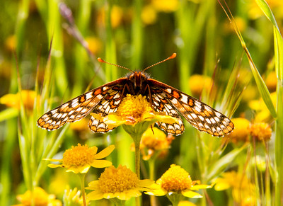 Endangered Bay Checkerspot Butterfly on Food Source Goldfields