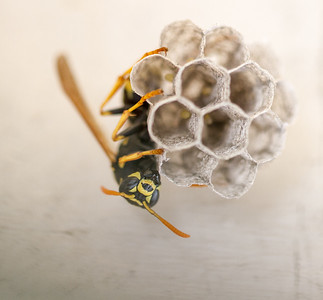 Paper wasp queen laying eggs in new spring nest she built to produce workers