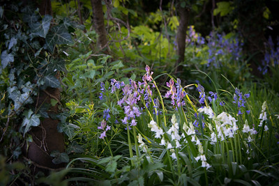 Pink and bluebells-1
