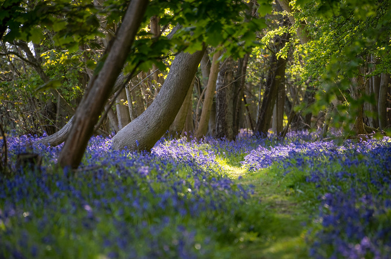 Bluebell path in woodland