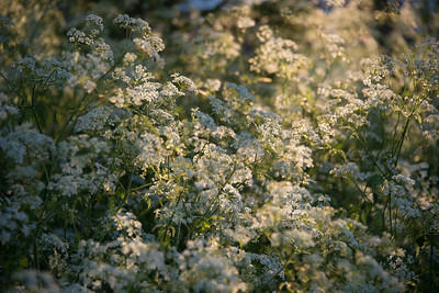 Cow parsley clouds-1