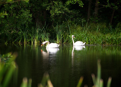 Swan Lake in Summertime 2 2