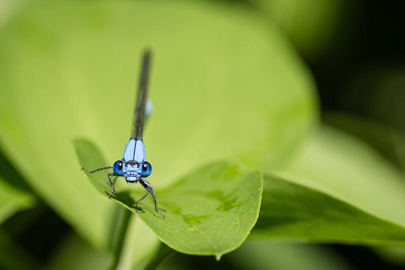 Male Blue Damselfly