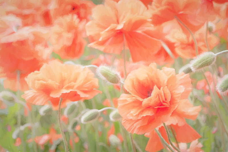 Perfectly Peachy Poppies