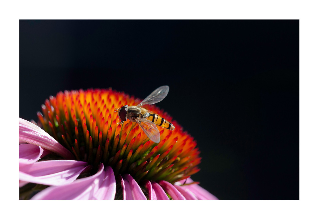 hoverfly on purple coneflower