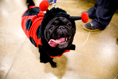 Maya, a black Pug, owned by Andrea Berner, Gays, at the  sixth annual Pet-O-Ween pet costume contest and parade held at Rural King in Mattoon, Illinois on Saturday, October 31, 2009.  The proceeds of the event and money collected by Rural King was used in support of the Coles County animal shelter.  (Jay Grabiec)