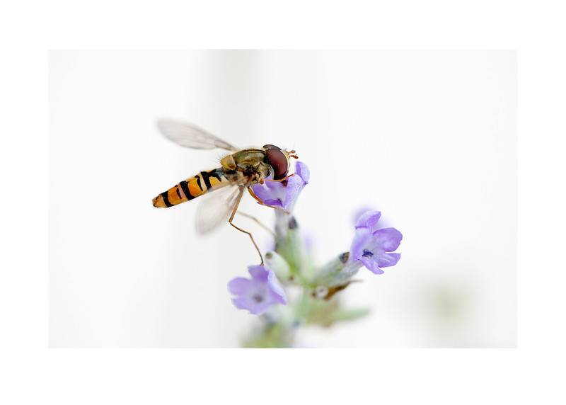 05 hoverfly on purple flower - 53x75cm photoprint with black frame and plexiglass