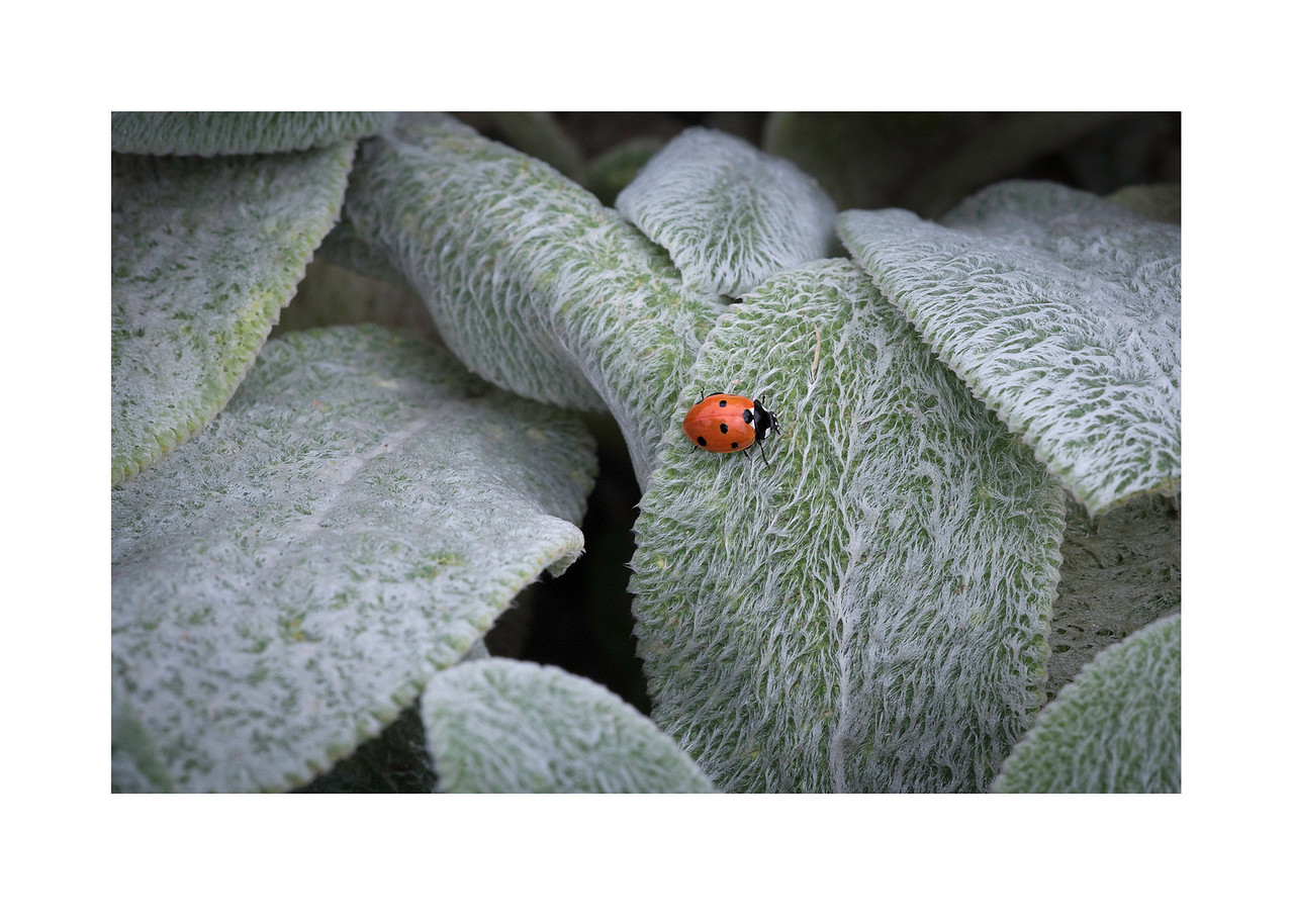 ladybug on hairy leaves