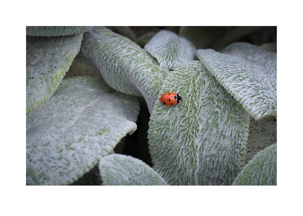 ladybug on hairy leaves