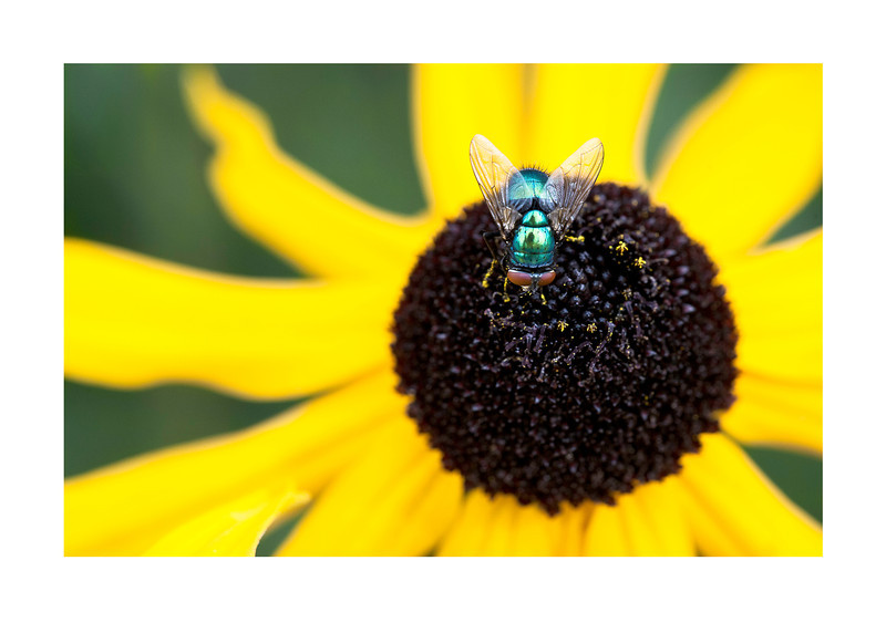 green fly on yellow flower