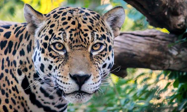 Jaguar - Phoenix, Arizona