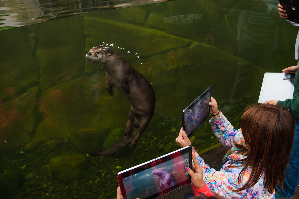 River otters check out some new Samsung tablets the zoo is using with kids at Sequoia Park Zoo in Eureka, Ca.
