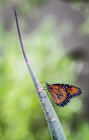 The Monarch - Part 2 - Phoenix Botanical Gardens, Arizona