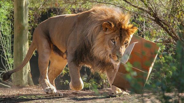 Lion Playing Around - Phoenix, Arizona