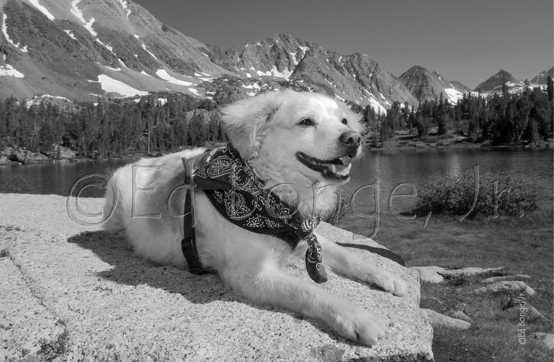 While basking in the sierra sun, Jessy, a brittany spaniel/terrier,  takes a moment for the camera while relaxing at Heart Lake, Mosquito Flats, California.