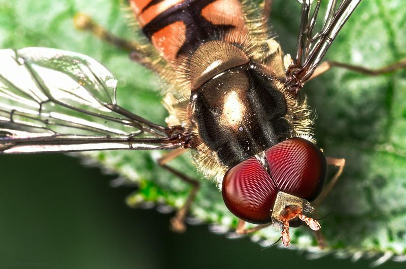 The eye of the Flye