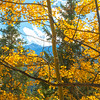 Mosquito Range Peak seen through colorful Aspen