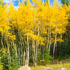 Colorful Aspen Stand.