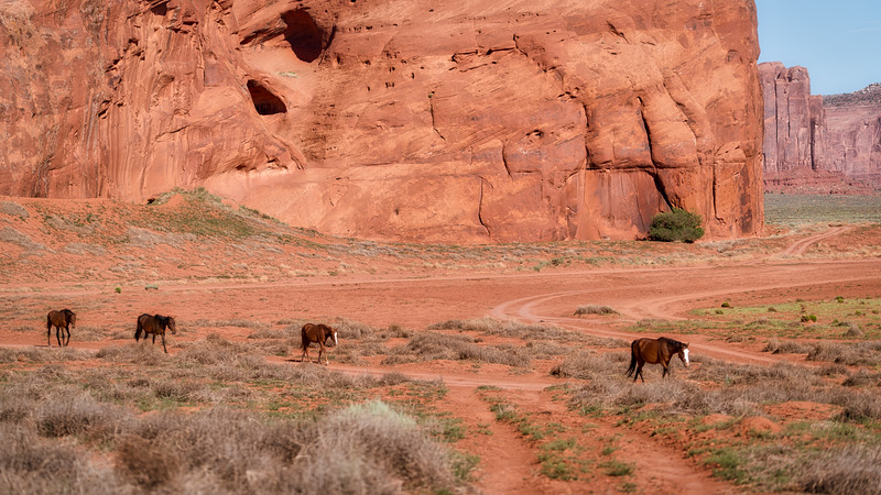 Wild mustangs headed for water.