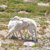 Mountain Goats at Play