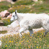 Juvenile Mountain Goat in Alpine Meadow
