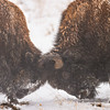 Fighting Bison, Rocky Mountain Arsenal National Wildlife Refuge