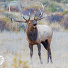 Bugling Bull Elk, Rocky Mountain National Park, Colorado
