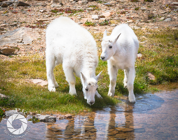 Taking a Drink, Juvenile Mountain Goats, Mt. Evans, CO.