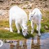 Taking a Drink, Juvenile Mountain Goats, Mt. Evans, CO.