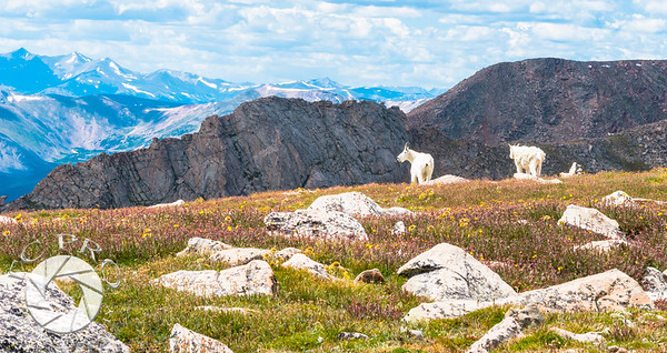 A Pair of Mountain Goats Enjoy the View, Mt Evans, CO
