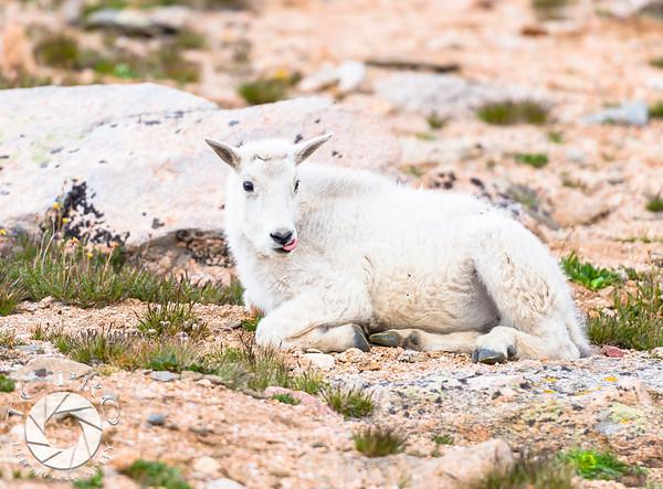 Juvenile Mountain Goat, Mt Evans, CO.