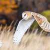 Barn Owl in Flight with Fall Colors