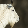 Mountain Goat Closeup, Mt. Evans, CO