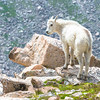 Juvenile Mountain Goat, Mt Evans, CO.