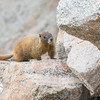 Marmot on the Rocks, Mt. Evans, CO