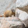 Marmot on the Rocks, Mt. Evans, CO