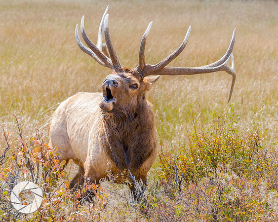Bull Elk Belts Out a Bugle
