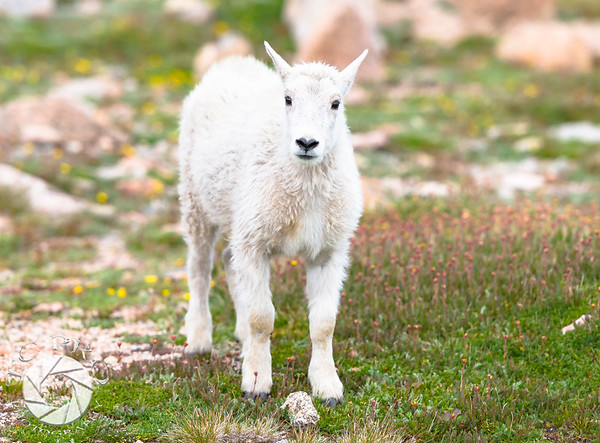 Juvenile Mountain Goat Checks out a Photographer.