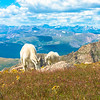 Mountain Goats with View of Rocky Mountains, Mt. Evans, CO