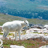 Juvenile Mountain Goat, Mt. Evans, CO