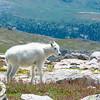 Juvenile Mountain Goat, Mt. Evans, CO