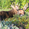 Bull Moose, Brainard Lake Recreation Area, CO