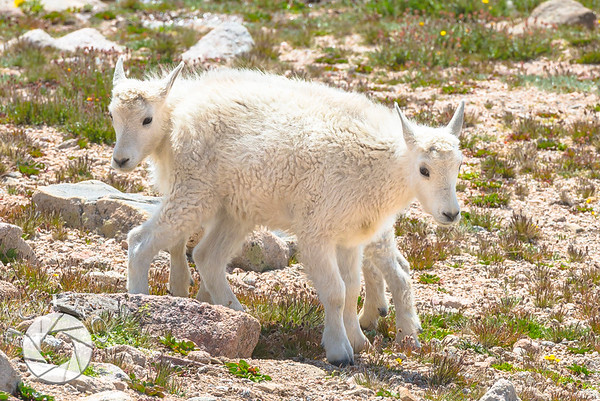 Two-Headed, Eight-Legged Juvenile Mountain Goat!!!