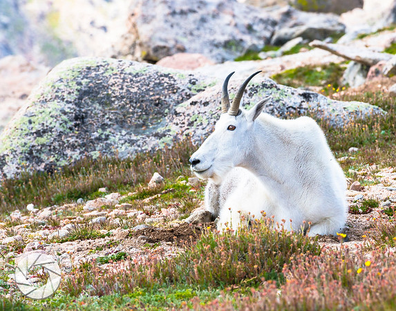 Enjoying the View, Mountain Goat, Mt. Evans, CO