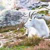Enjoying the View, Mountain Goat, Mt. Evans, CO