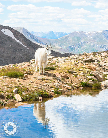 Mountain Goat Finds Water, Mt. Evans, CO