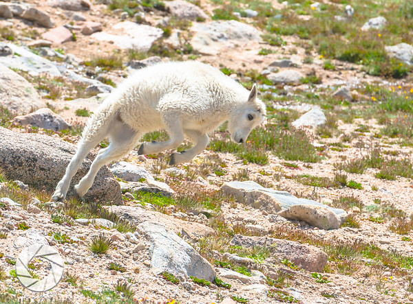 Mountain Goat at Play.