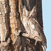 Screech Owl in Cottonwood Tree