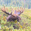 Bull Moose, Brainard Lake Recreation Area, CO