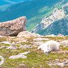 Nap Time, Juvenile Mountain Goat, Mt. Evans, CO